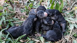 Today my dog has 6 puppies all black and very cute | Puppies Video HD 4k