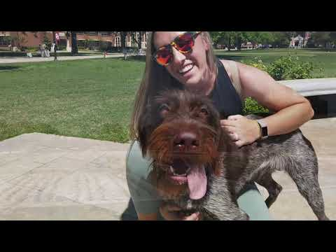 9 Month Old Wirehaired Griffon | Best GWG Dog Training | Off Leash K9 | Board and Train | Oklahoma