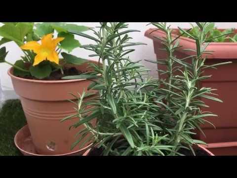 Planter et cultiver le romarin en pot sur son balcon - Que planter sur son balcon ...