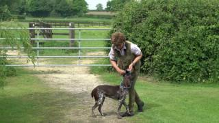 Training 9 month German shorthaired Pointer to sit and stay with you out of sight