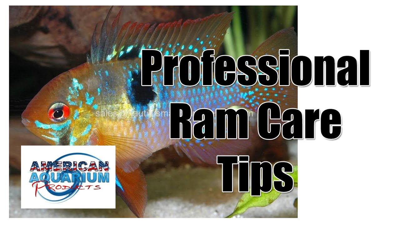 German Blue Ram Professional Ram Cichlid Fish Care Tips