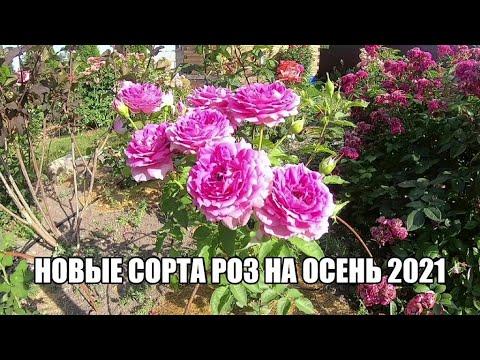 Новые сорта роз на осень 2021