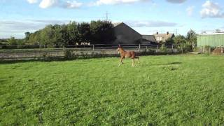 Nelson thinks he is ready for stallion duties, His poor mum :)
