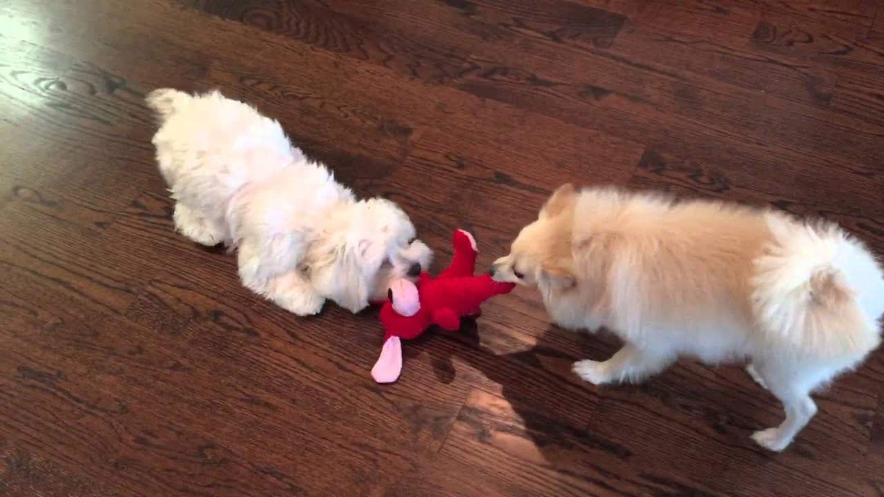 Maltipoo and Pomerania...