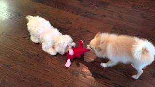 Maltipoo And Pomeranian Puppy Playing Tug Of War