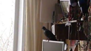 выпроваживаем голубя 2 Он понял к чему открытое окно и начал разминать крылья перед полетом
