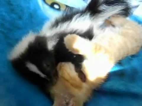 la moufette de bambi qui r veille le chat avec des bisous unique drole youtube. Black Bedroom Furniture Sets. Home Design Ideas