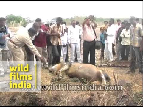 Rare Asiatic Lion found dead in an open well - Junagadh, India