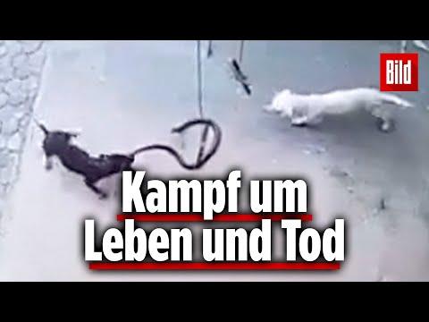 Familien-Hunde Retten Baby Vor Kobra-Angriff – Einer Der Hunde überlebt Es Nicht ...