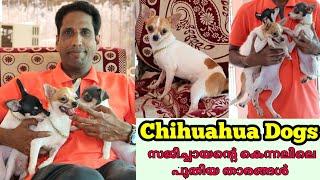 സജിച്ചായന്റെ വീട്ടിലെ പുതിയ അഥിതികൾ Chihuahua Dogs Kennel Dog sale Dog Lover
