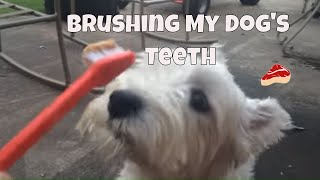 Brushing My West Highland Terrier's Teeth Hilarious! Awesome!
