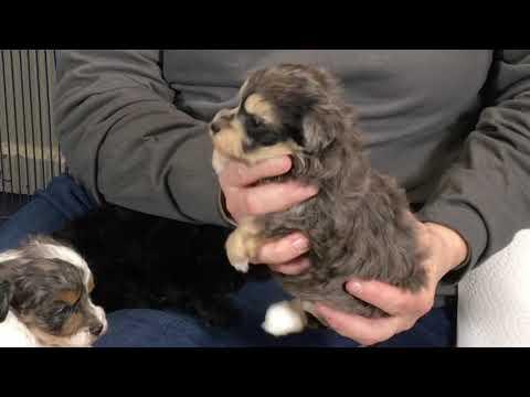 Cinder's Schnoodle Puppies 1/15/19