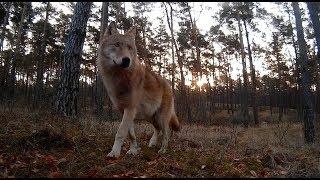 Przejście wilków najlepsze ujęcie na które czekałem dwa lata.