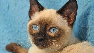 Animal Planet  : Cats 101 ~ Tonkinese