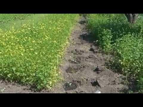 Сидераты׃  Горчица белая и фацелия, посеянные весной