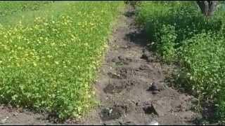 Сидераты׃  Горчица белая и фацелия, посеянные весной(, 2014-06-19T12:36:52.000Z)