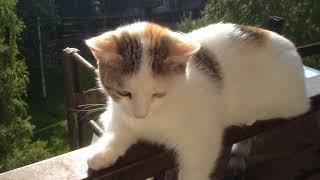 Кошечка окраса Арлекин