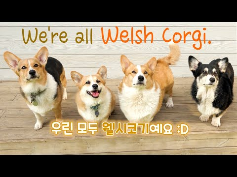 we-are-all-welsh-corgi-🐶(feat.-friends-of-the-eight-corgis)