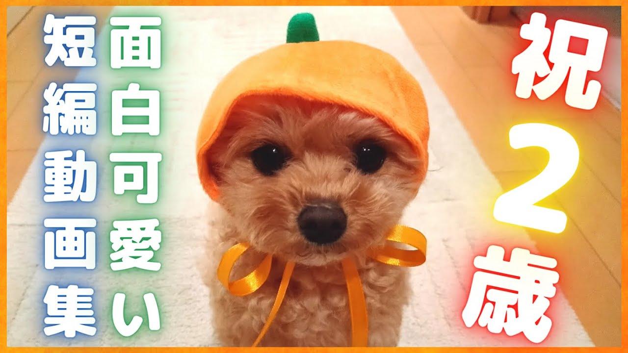 子犬 マルプー 【 MIX