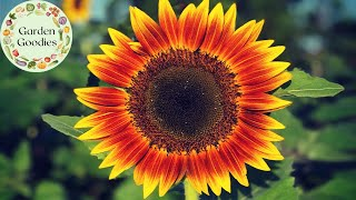 "THIS ""JOKER"" IS THE PRETTIEST SUNFLOWER WE'VE EVER SEEN!"