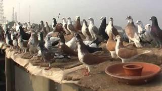 REPORT ON KABUTAR BAZI 28 11 2011
