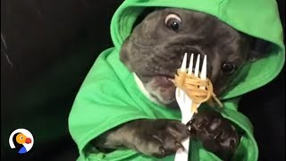 French Bulldog Is Obsessed With Food | The Dodo