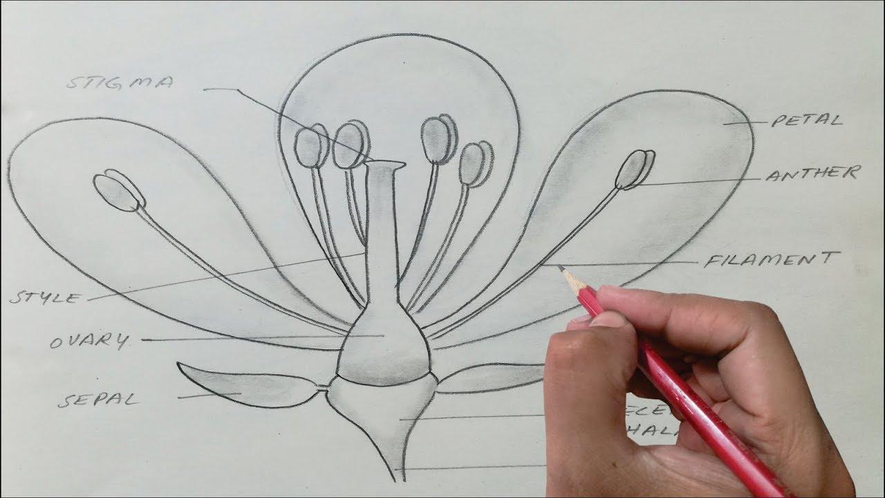 Opal-diagram-brassica Flower
