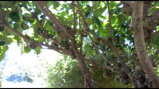 Indian Fig Tree (Ficus Auriculata) - Gavi Park