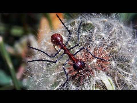 Very simple and quick Ant pattern fly tying instructions by Ruben Martin