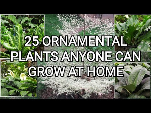 Easy to Grow Ornamental Plants   Plants in the Philippines