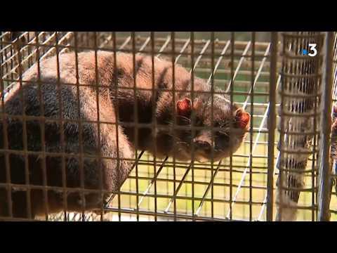 L'élevage de Vison dans l'Orne: la fourrure sous le feu des antispécistes