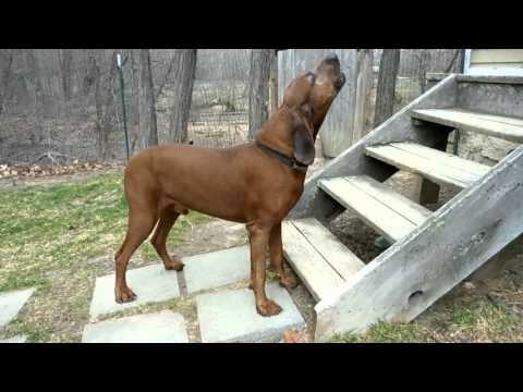 Redbone Coonhound Howling