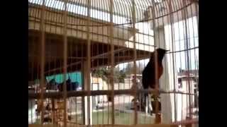 Suara Burung Murai Batu Borneo Gacor, Mp3 Masteran - Kicau Burung