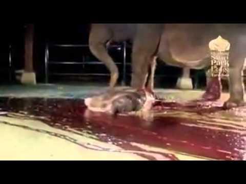 Proses gajah melahirkan