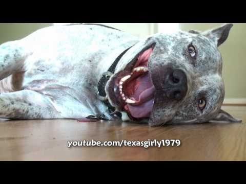 World Funniest Dog Face!! Pit Bull Sharky tries to say I Love you ...