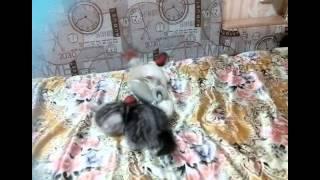 Экзотические короткошерстные котята от титулованных родителей (продажа)