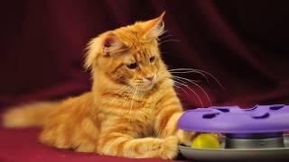 Котята мейн кун в возрасте 5 месяцев