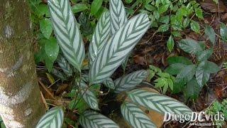 Ctenanthe setosa - Maranta-cinza (Marantaceae)(Ctenanthe setosa - Maranta-cinza (Zingiberales - Marantaceae) Biodiversidade, Biodiversity, Nature videos, Vídeos de Natureza, Santo Amaro da Imperatriz, ..., 2015-05-20T14:31:14.000Z)