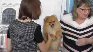 немецкий миниатюрный шпиц, цвергшпиц, видео с выставки собак