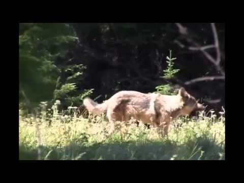 Oregon Hunters Compete With Wolves For Game