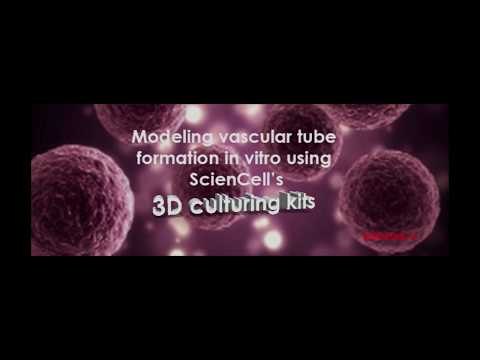Modeling vascular tube formation in vitro using ScienCell's 3D culturing kits