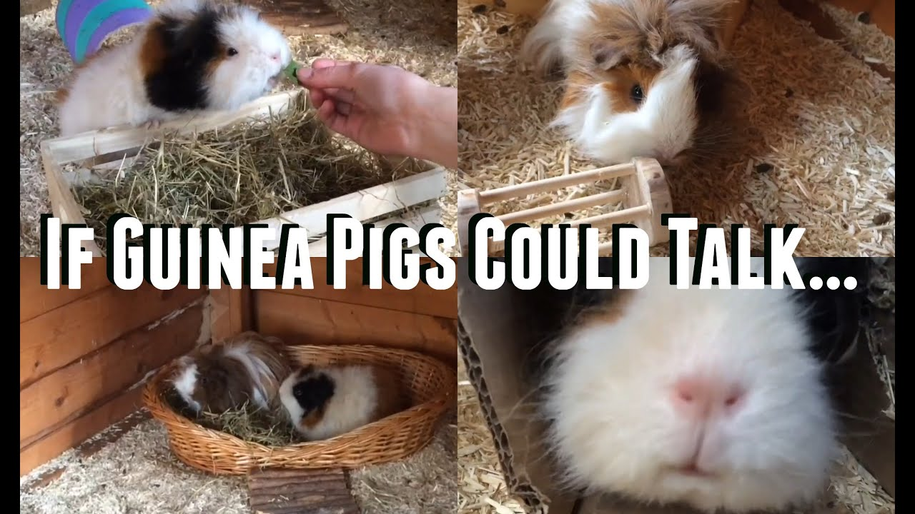If Guinea Pigs Could Talk ft. Frizzy Pig  ♡Skit♡