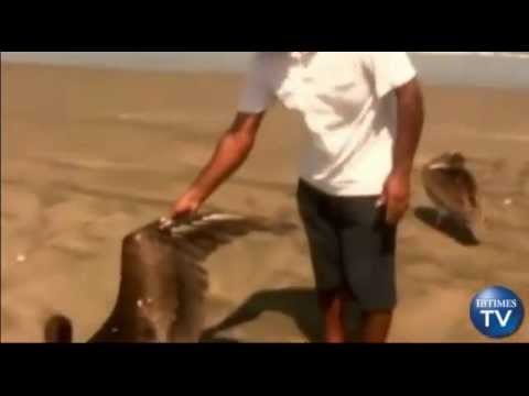 538 Dead Pelicans found on the Beaches of Peru (May 01, 2012)