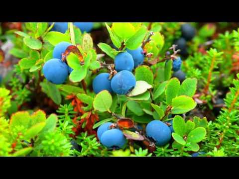 ПОЛЬЗА ГОЛУБИКИ | голубика полезные свойства, витамины