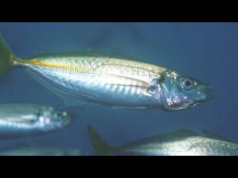 How To Catch Bait Fish On Sabiki Rigs | How To Catch Live Yellow Tail Yakka