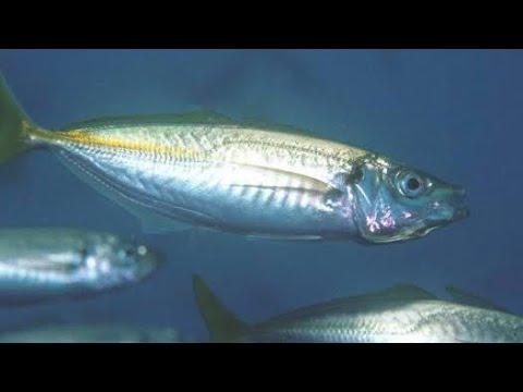How To Catch Bait Fish On Sabiki Rigs | How To Catch Live Yellow Tail Yakka