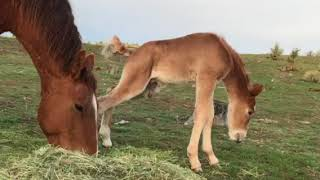 Red Lady's baby foal day two