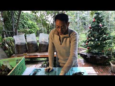 Kỹ thuật trồng và chăm sóc hoa Lan Hài   Foci