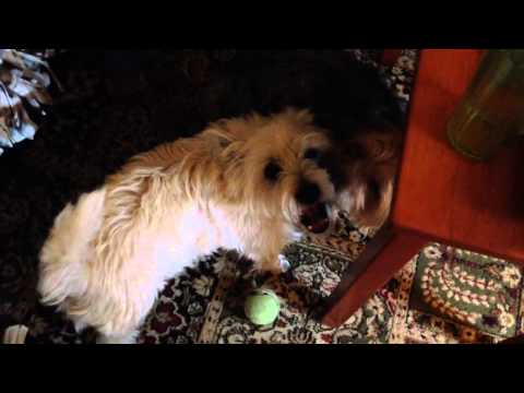 Toby the MMA fight trained Cairn terrier.
