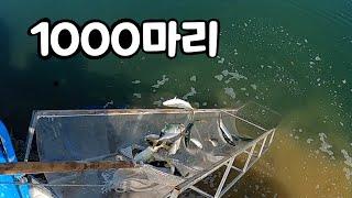 야도(방어새끼) 1000마리 풀어주는 낚시터 #만정바다…